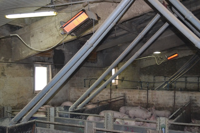 инфракрасное отопление свинофермы