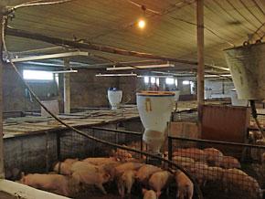 отопление свинофермы инфракрасными обогревателями